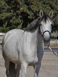 Photo du cheval Aïsha de la cavalerie du Club Hippique Eckwersheim
