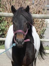 Photo du poney Baipie de la cavalerie du Club Hippique Eckwersheim