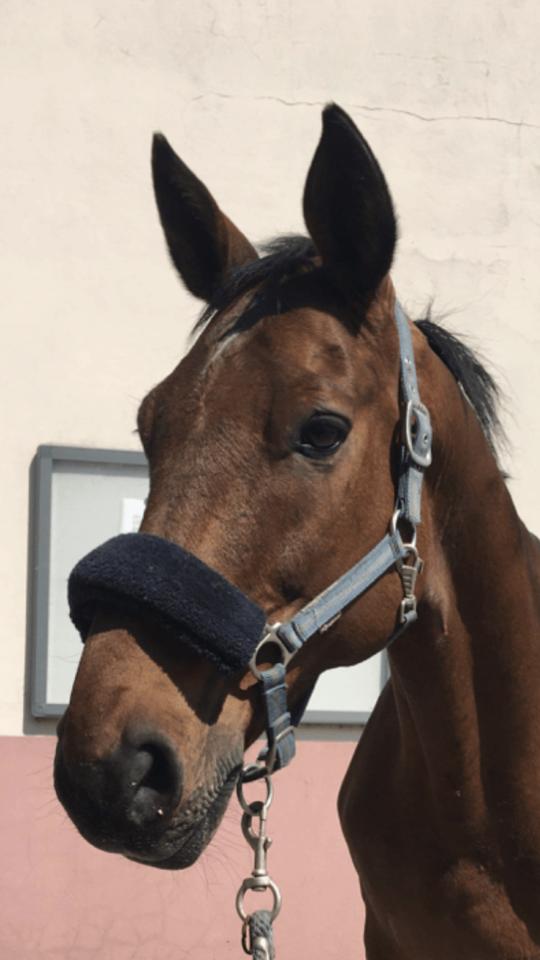 Photo du cheval Cosmos de la cavalerie du Club Hippique Eckwersheim