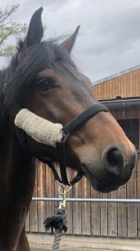 Photo du cheval Delta de la cavalerie du Club Hippique Eckwersheim