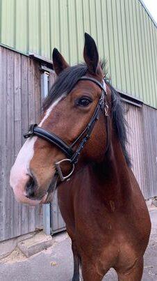 Photo du cheval Equinoxe de la cavalerie du Club Hippique Eckwersheim