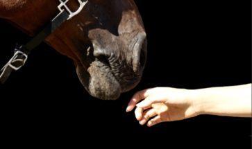 cheval et main pour représenter la cavalerie du Club Hippique d'Eckwersheim