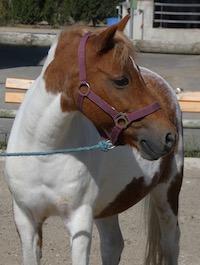 Photo du poney Joyeuse de la cavalerie du Club Hippique Eckwersheim
