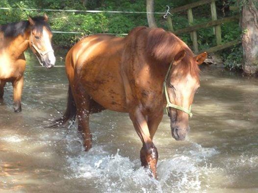 Jivago, cheval à la retraite du Club Hippique d'Eckwersheim
