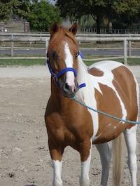 Photo du poney Kakahuette de la cavalerie du Club Hippique Eckwersheim