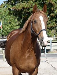 Photo du cheval Lady de la cavalerie du Club Hippique Eckwersheim