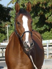 Photo du cheval Fétiche de la cavalerie du Club Hippique Eckwersheim