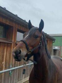 Photo du poney Bally de la cavalerie du Club Hippique Eckwersheim