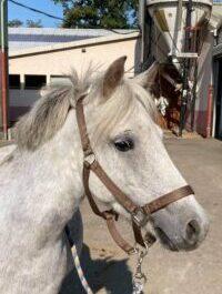 Photo du poney Gao de la cavalerie du Club Hippique Eckwersheim
