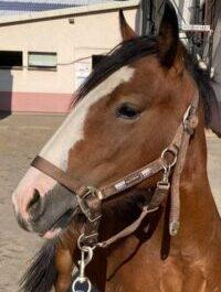 Photo du poney Tayla de la cavalerie du Club Hippique Eckwersheim