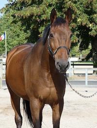 Photo du cheval Quenzo de la cavalerie du Club Hippique Eckwersheim