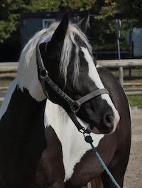 Photo du poney Ratz de la cavalerie du Club Hippique Eckwersheim