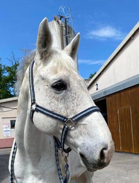 Photo du cheval Rochet de la cavalerie du Club Hippique Eckwersheim
