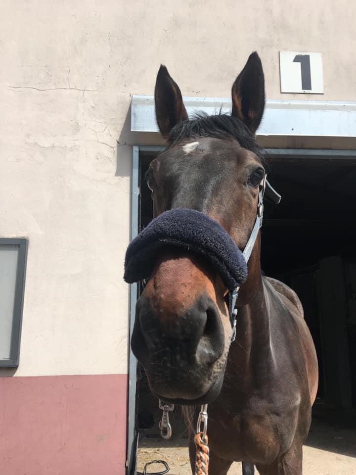 Photo du cheval Tonnerre de la cavalerie du Club Hippique Eckwersheim