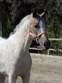 Photo du poney Ulysse de la cavalerie du Club Hippique Eckwersheim