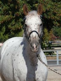 Photo du cheval Ursule de la cavalerie du Club Hippique Eckwersheim
