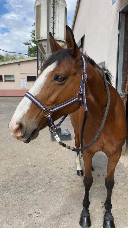 Photo du cheval Ushuaïa de la cavalerie du Club Hippique Eckwersheim