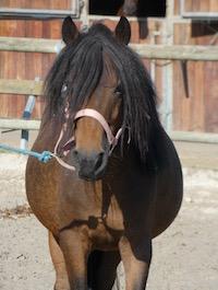 Photo du poney Vicking de la cavalerie du Club Hippique Eckwersheim